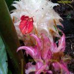 Mengenal Tumbuhan Langka Indonesia (Zingiber loerzingii Valeton)